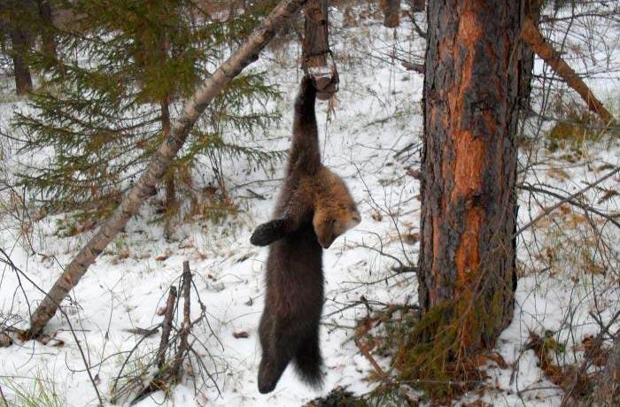 охота медведя с лайкой тайге