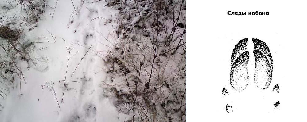 следы кабана зимой