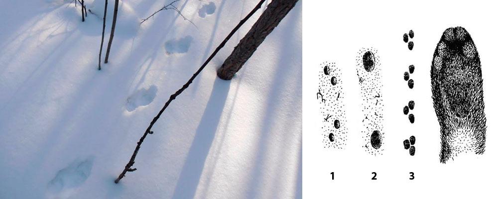 следы соболя зимой