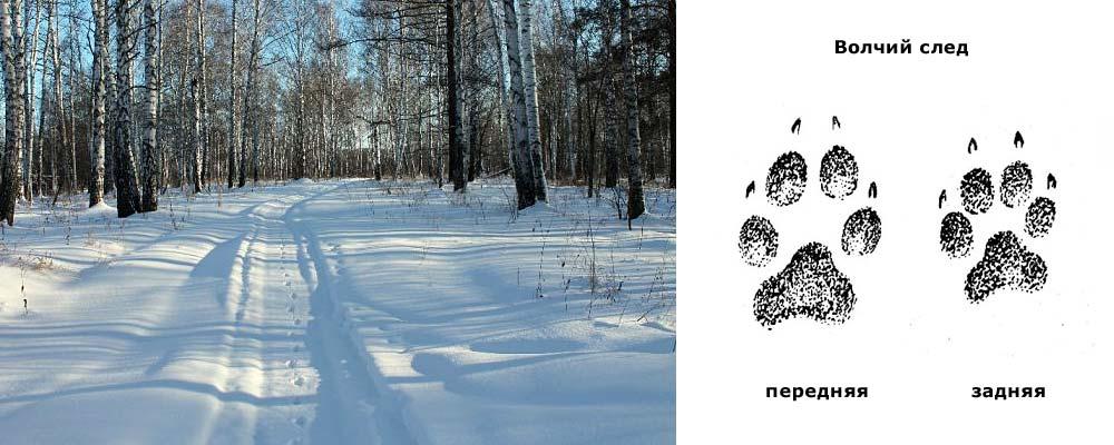 следы волка зимой
