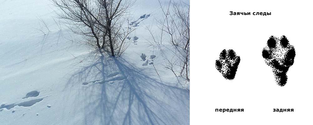 удачно фото заячьих следов на снегу результате кишечнике происходят