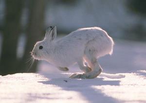 Охота на зайца с манком видео молодняк ххх женщины
