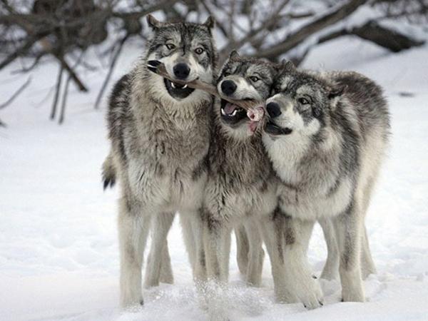 Все об охоте - Охота на волка