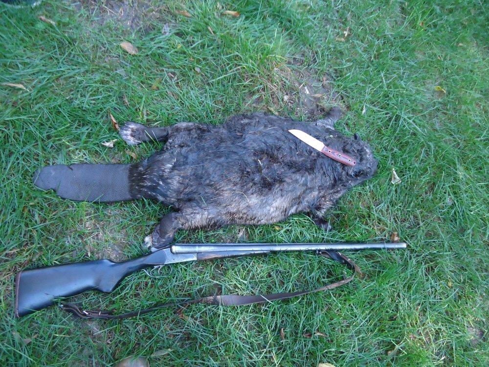 Охота на бобра с ружьем осенью разрывая плотину #12