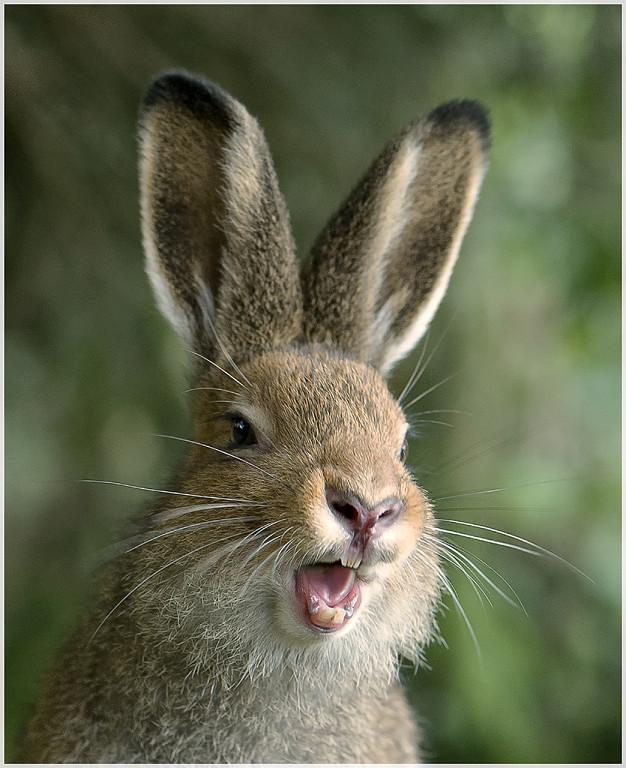 картинка зайца с зубами дочкой
