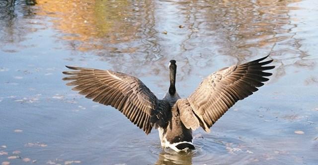 Дикий гусь — виды диких гусей: морской и чёрный, северный и нильский