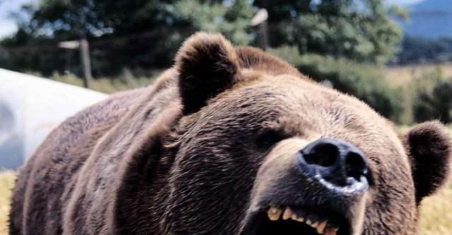 Медведь загрыз 50-летнюю женщину в Забайкалье