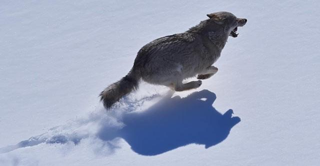В прошлом году волки съели 11 331 домашнего оленя
