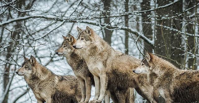 Стая волков попала на видео под Новосибирском