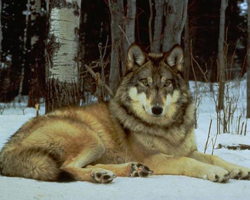 http://www.hunting.ru/files/image/dog/dub17_1.jpg