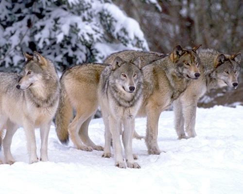 Предки собак
