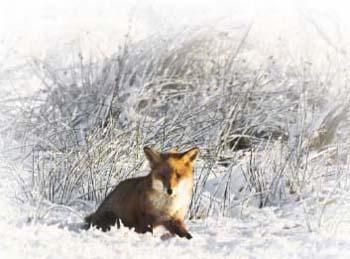 Охота на лисиц с гончими гончими лисица ходит