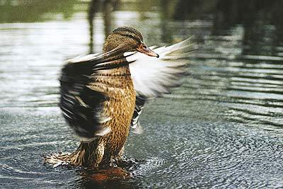 утки сибири фото