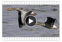 видео-новинки охоты на гусей