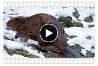 видео охоты на бобров