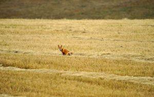 Мышкующая лиса
